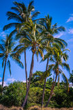 Palms. Palm trees blowing in the breeze at the beach Royalty Free Stock Image
