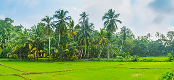 The palms at the rice field. The lush palms at the borders of the rice fields hide the cozy houses of local farmers, Hikkaduwa, Sri Lanka stock photography