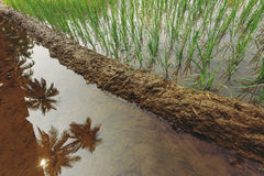 Palms and rice reflection in water. growth. Stock Images