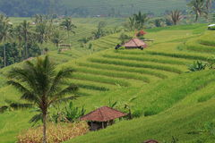 Rice terraces in Central Bali. The palms and the rice terraces in Central Bali, Indonesia Stock Images