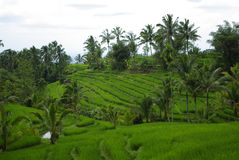 Palms and ricefield on Bali island. This is a typical Balinese landscape with ricefield and palms royalty free stock photo