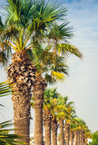 Palms in a Row Stock Photos