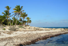 Palms on sea shore in the Caribbean Stock Images