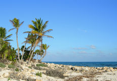 Palms on sea shore in the Caribbean Stock Photography