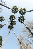 Palms seen from underneath. We can see a group of palm-trees from underneath stock photo