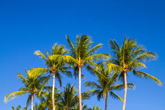 Palms. Some palm trees under  blue sky Stock Image