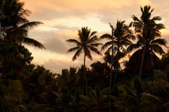 Palms at sunset. Palms on Niue, a tropical South Sea island, silhouetted against evening sky Stock Images
