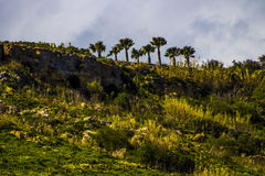 Palms on the top. Palm trees on top of hill at Ramla l-Hamra Gozo Royalty Free Stock Photography