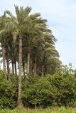 Palms tree in small village, Egypt. Stock Image