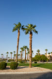 Palms Trees. Fan Palms Trees Palm Springs California Royalty Free Stock Photography