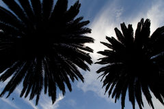 Palms trees. A picture of a pair of palm trees silhouetted by blue skyline Royalty Free Stock Photography