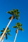 Palms trees Royalty Free Stock Images