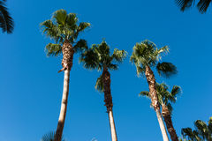 Palms trees Royalty Free Stock Image