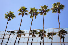 Palms Trees and Reflection. A line of palm trees reflected in glass building Stock Photo
