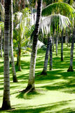 Palms trees on short grass Stock Images