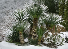 Palms under snow Stock Photography