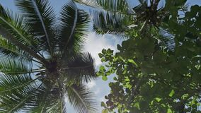 Palms Underneath Coco Sky View Tropic 4k. Footage of palm trees seen from underneath. Shot in 4k stock video