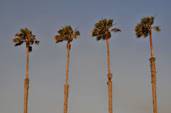 Palms in the wind Royalty Free Stock Images