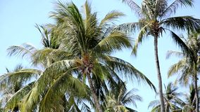 Palms in a windy day. Over a turquoise sky stock footage