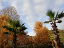 Palms and yellow autumn trees royalty free stock image