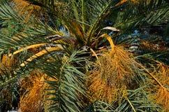 Palmtakken en Vruchten Stock Afbeeldingen