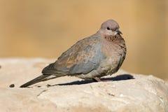 Palmtortel, смеясь над голубь, senegalensis горлицы стоковое изображение