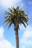 palmträd Fotografering för Bildbyråer