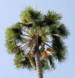 palmträd 3 Arkivbilder