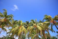 Palmträd av den tropiska ön Arkivfoton