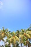 Palmträd av den tropiska ön Arkivbild