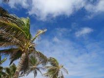 Palmträd av Guadeloupe fotografering för bildbyråer