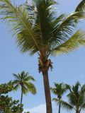 Palmträd Catalina Island, D r Royaltyfria Foton