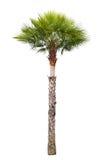 Palmträd för Carnaubavax Arkivbilder