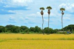 Palmträd för tre socker i risfältet, Thailand Arkivfoton
