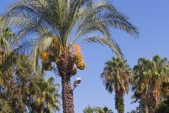 Palmträd fikonträd på kusten av Turkiet Filialer av datumet gömma i handflatan under blå himmel Arkivfoto