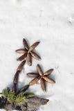 Palmträd från kottar på snö Arkivfoton