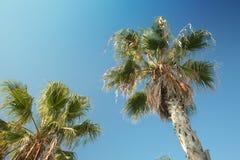 Palmträd i Barcelona Arkivbild