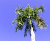 Palmträd i den blåa soliga himlen Royaltyfri Bild