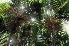 Palmträd i den trädgårds- tropiska bakgrunden Arkivfoto