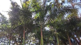 Palmträd i den Venezuela semestern Royaltyfria Foton