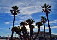 Palmträd i den Viareggio stranden Arkivfoton