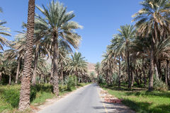 Palmträd i en oas, Oman Arkivfoto
