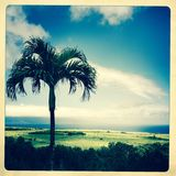 Palmträd i fältet, Maui, Hawaii Arkivbild