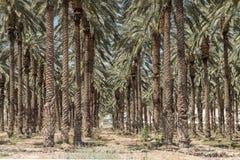 Palmträd i Jordan Valley Arkivfoto