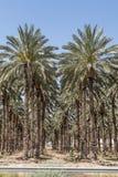 Palmträd i Jordan Valley Fotografering för Bildbyråer