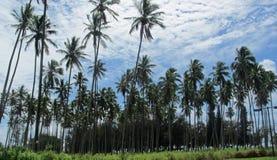 Palmträd i Kapaa i Kauai Arkivbilder