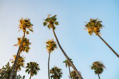 Palmträd i Los Angeles Arkivbild