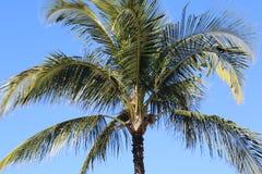 Palmträd i Maui Hawaii Royaltyfri Fotografi