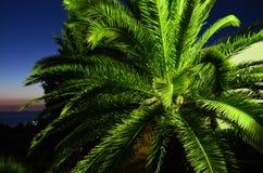 Palmträd i Montenegro Arkivfoton