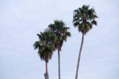 3 palmträd i rad Royaltyfri Bild